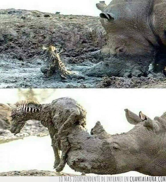 cebra,rinoceronte,salvando