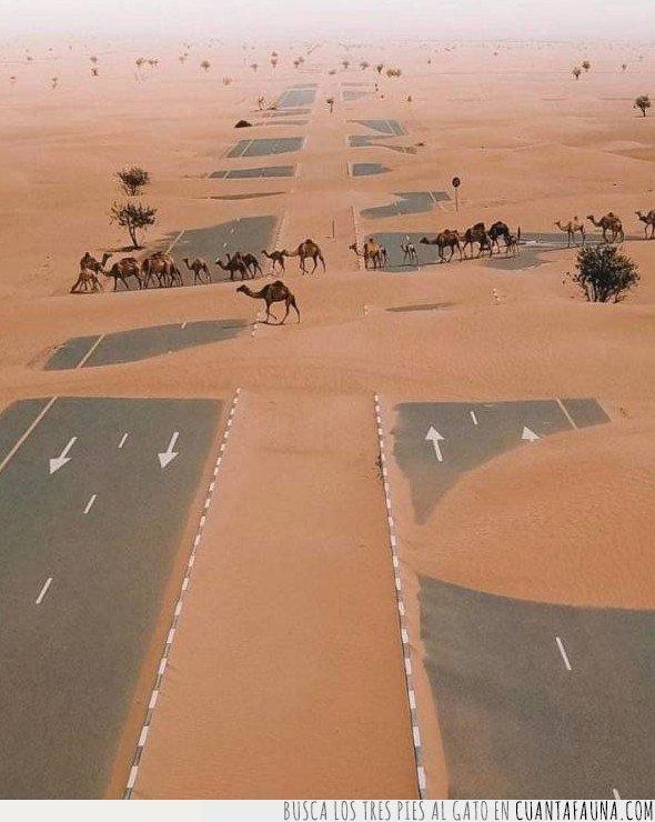 camellos,desierto