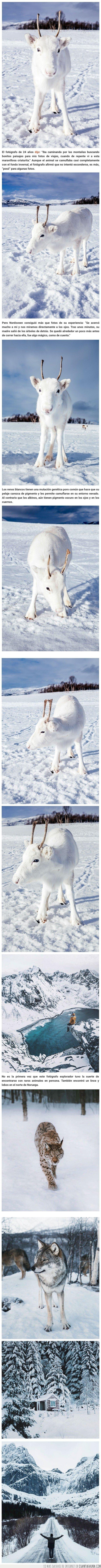 animales,noruega,reno