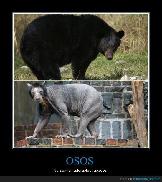 osos,rapado