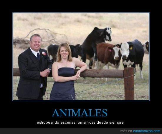 boda,vacas