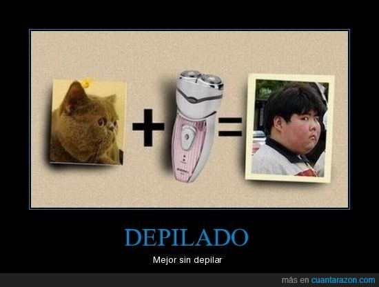 chino,depilado,gato,gordo