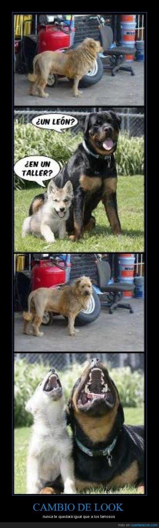 león,look,perro,taller