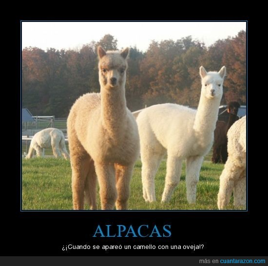 alpacas,camello,fail,oveja