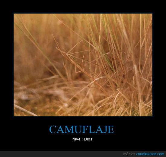 camuflaje,dios,hierba,insecto palo