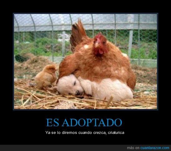 adoptar,corral,gallina,madre,perro