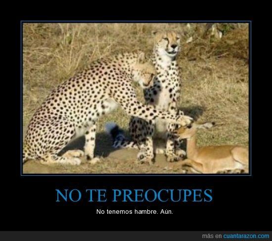 cazar,comida,gacelas,leopardos