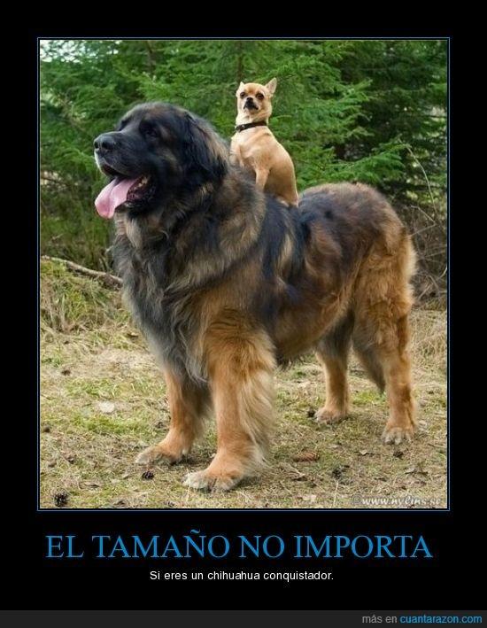 chihuahua,tamaño