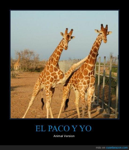 amigas,girafas