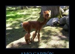 Enlace a AMO CABRÓN