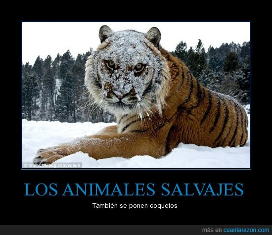 animales,maquillaje,mundial,salvajes,tigres