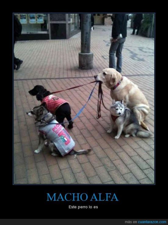 correa,macho,pasear,perro,perros