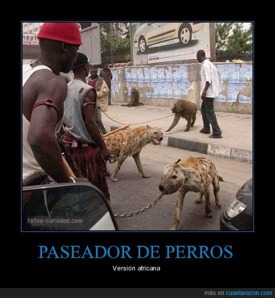 África,hiena,pasear,perro