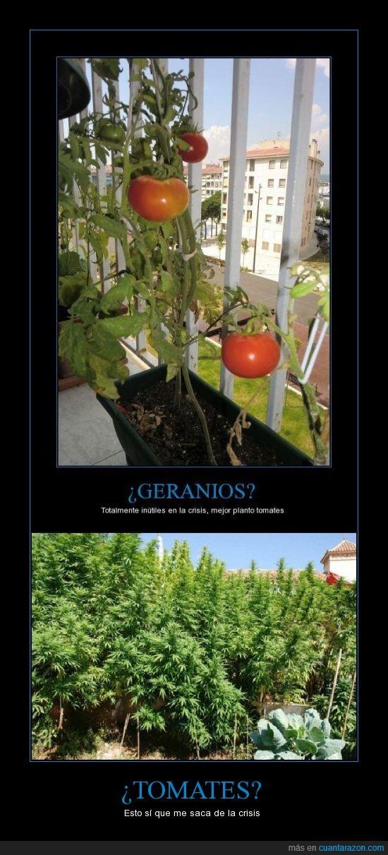 marihuana,plantacion,tomates no gracias