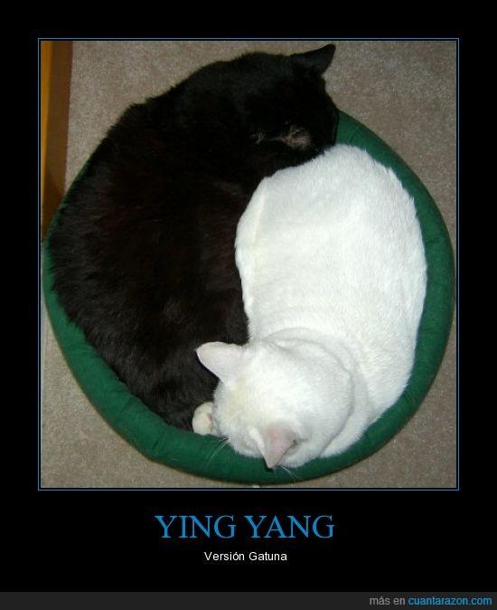 gatos,versión,Yang,Ying