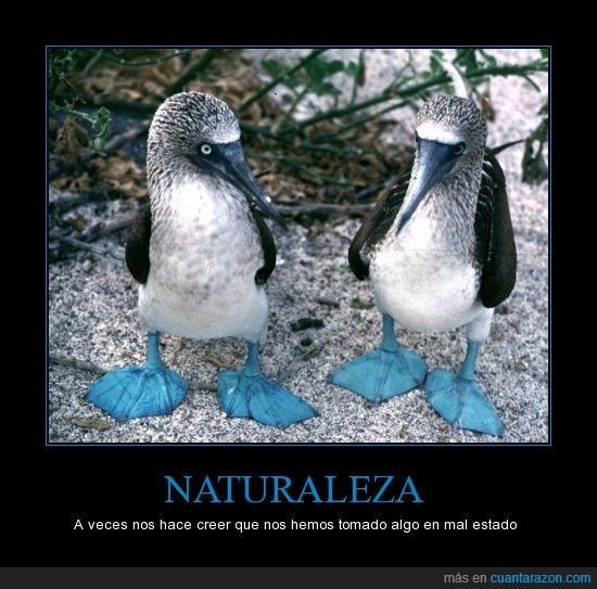 animal,azules,Boobies,curioso,patas