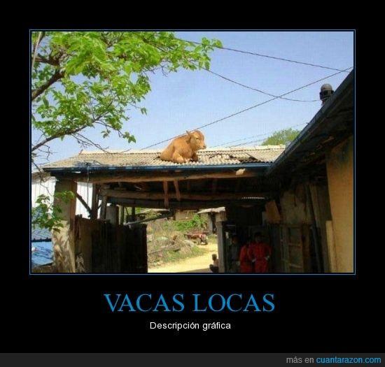 descripción,loca,tejado,vaca