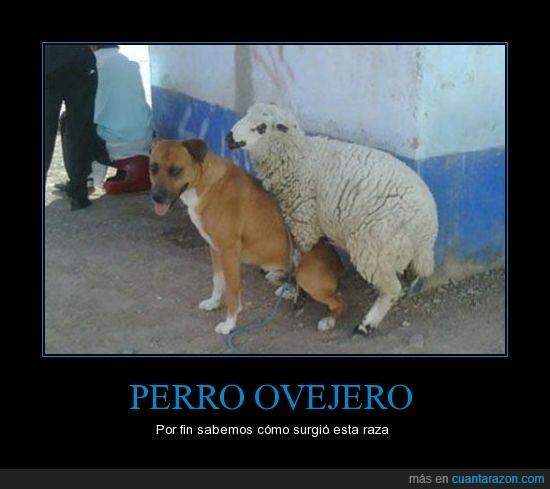 animal,oveja,perro