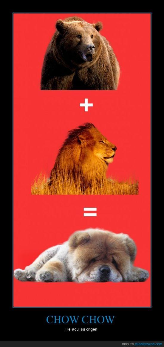 chao chao,chou chou,Chow chow,leon,lion,mas,oso