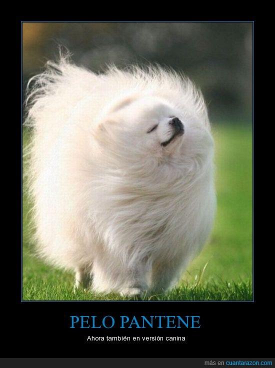pantene,pelo,perro,version