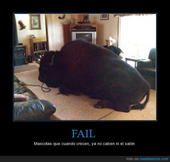bisonte,casa,mascota