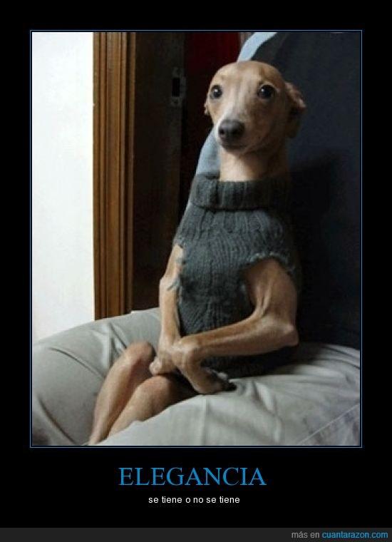 clase,elegancia,perro,vestido