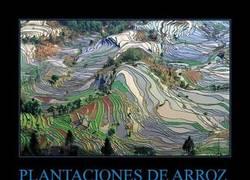 Enlace a PLANTACIONES DE ARROZ
