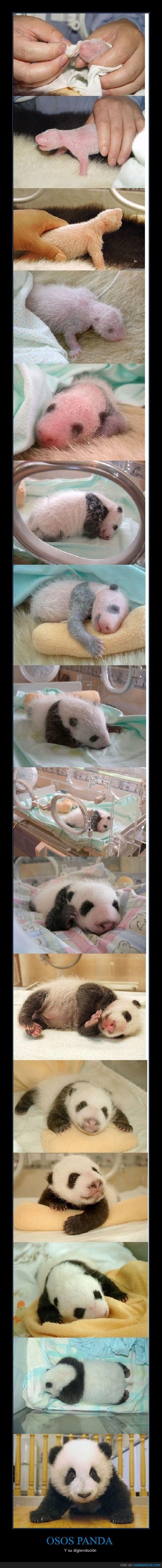blanco,digievolucion,evolucion,feo,negro,oso panda,peludo