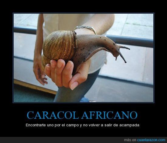 africano,caracol,gigante,pedazo de bicho