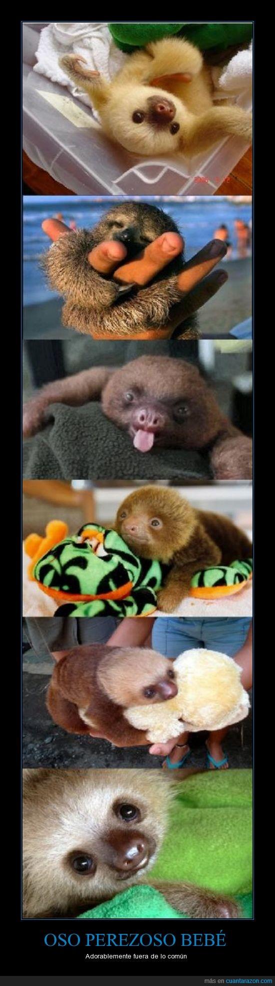 adorable,descomunal,lindo,maravilloso,mono,oso perezoso bebé