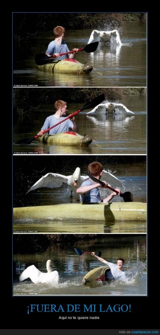 cisne,fuera,lago,nadie,pelirrojo