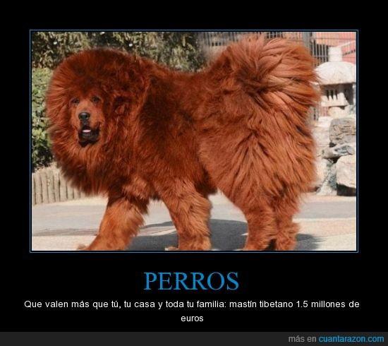 1.5 millones,euros,familia,mas caro,Mastin tibetano,mundo,perro,valen
