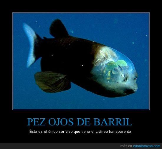 animal,creaneo,invisible,ojos de barril,pez,transparente