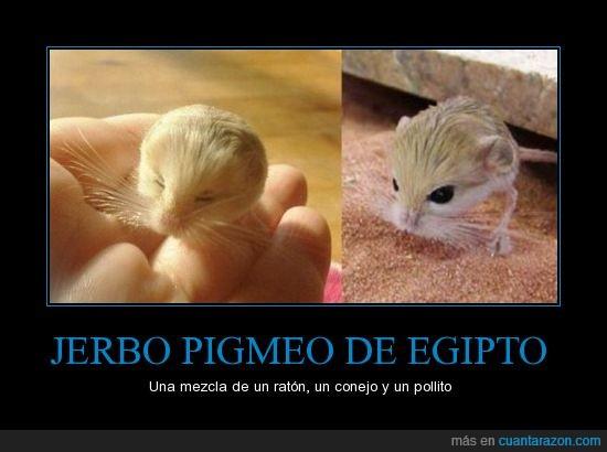 Jerbo,Jerbo pigmeo,Pokemon,Pollito,Ratón