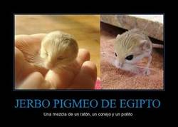 Enlace a JERBO PIGMEO DE EGIPTO