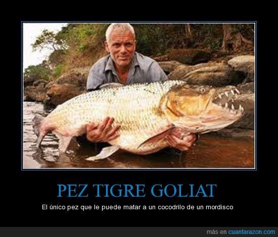 cocodrilo,gigante,goliat,mata,mordisco,pez,piraña,tigre