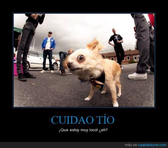 chihuahua,loco,perro,questoymulokoooooh,raro