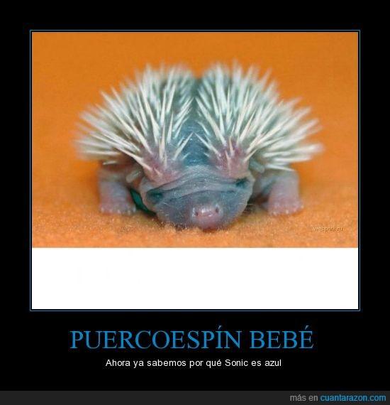 azul,bebe,erizo,puercoespin,sonic
