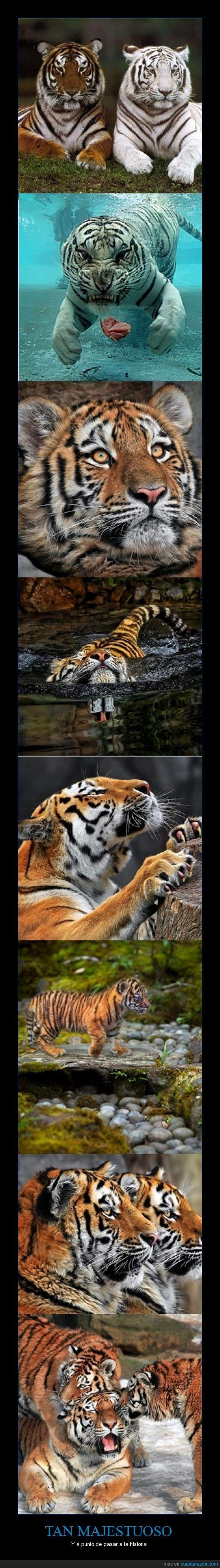 bengala,historia,majestuoso,tigre
