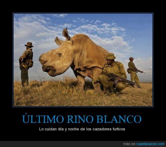 africa,cazadores furtivos,congo,extincion,ultmo rinoceronte blanco