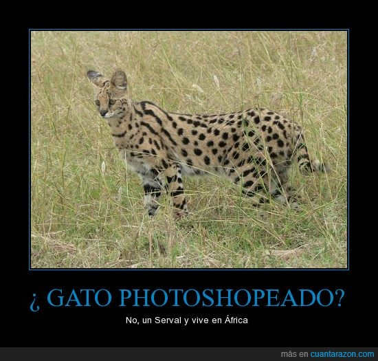 áfrica,no,photoshop,real,serval