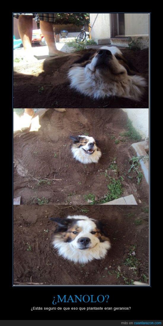 cabeza,crece,enterrado,geranio,perro,plantar,semilla,tierra