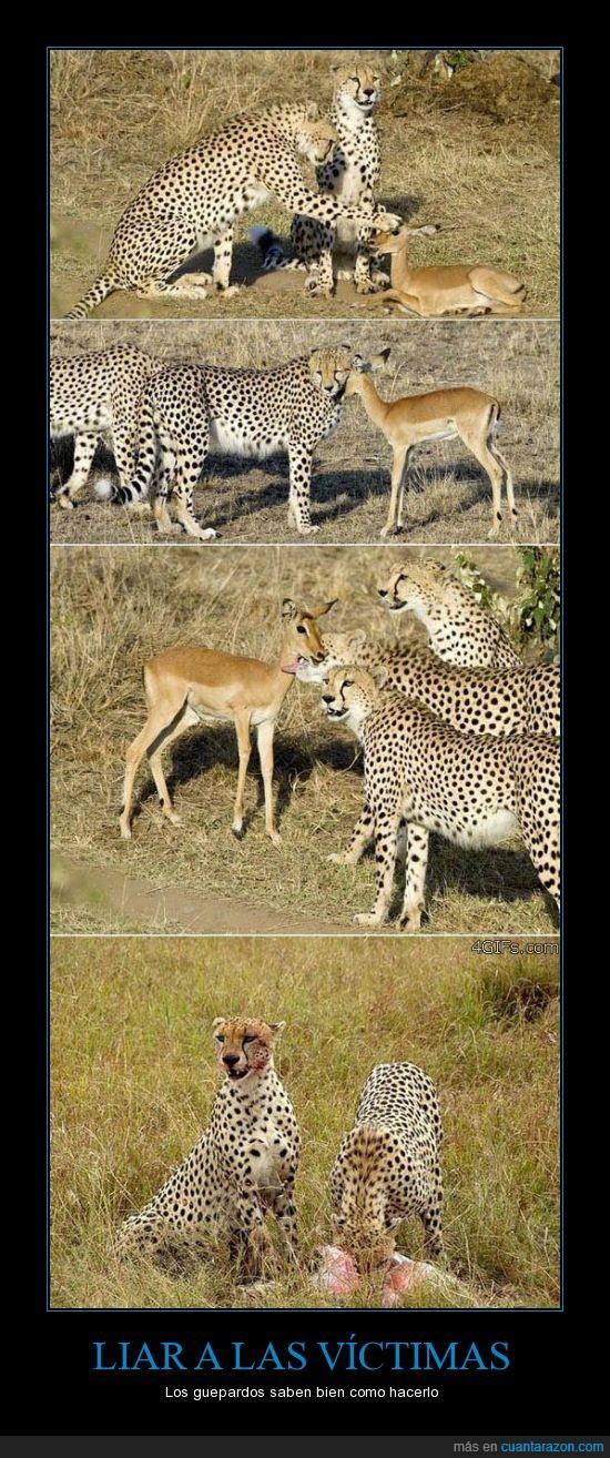 crédula,gacela,guepardos,listos
