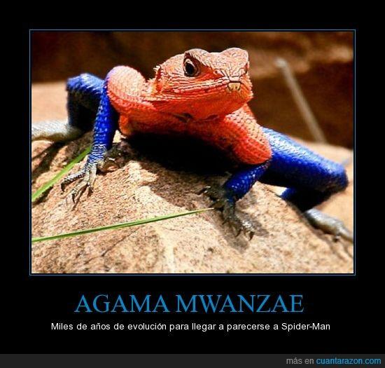 Agama,es muy fan,evolución,mwanzae,spiderman