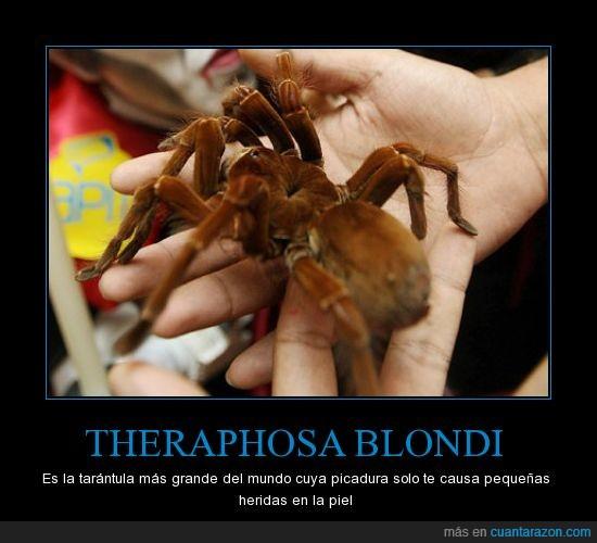 gigante,heridas,mundo,picadura,tarántula,Theraposa blondi