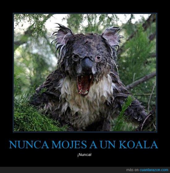 animales,koala careado,miedo,mojado