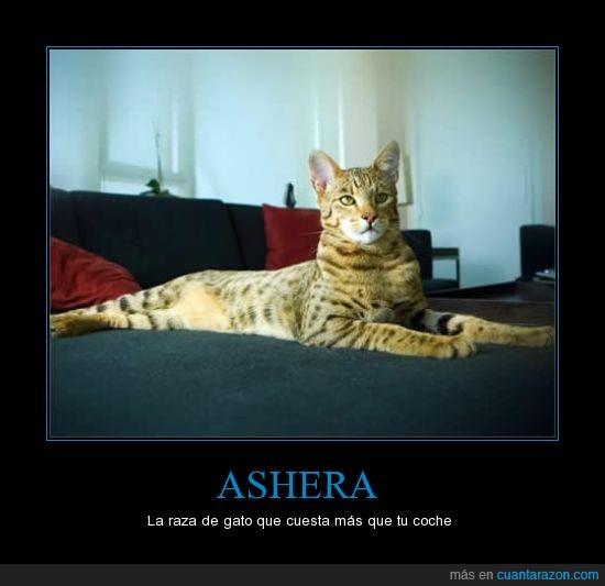 animal,ashera,dinero,el gato mas caro,gato,mascotas