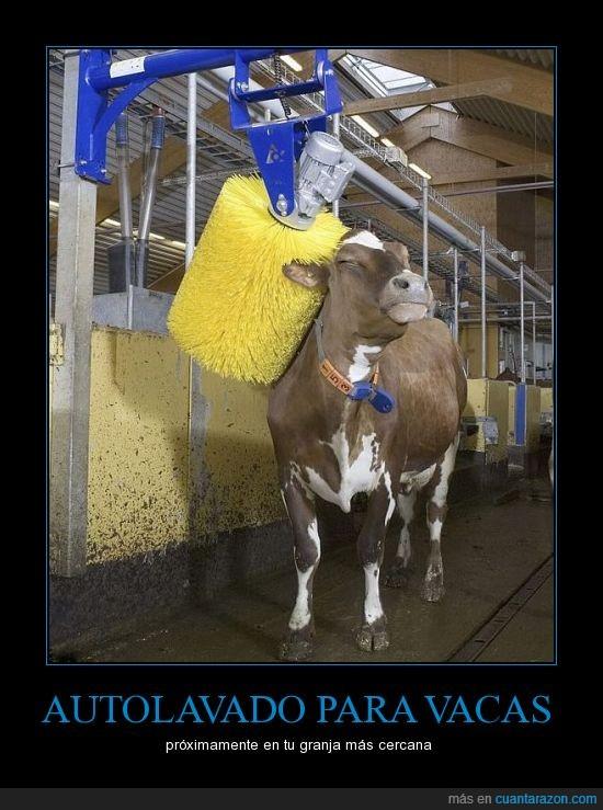 autolavado,granjas,gustillo,limpia,vaca