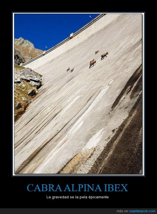 cabra,cabras,escala,gravedad,muro,pared,presa,sube,subir