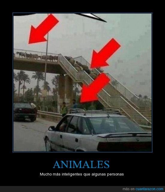 animales,autovia,cabras,carretera,coches,cruzar,genius,gente,inteligente,inutil,ovejas,personas,puente